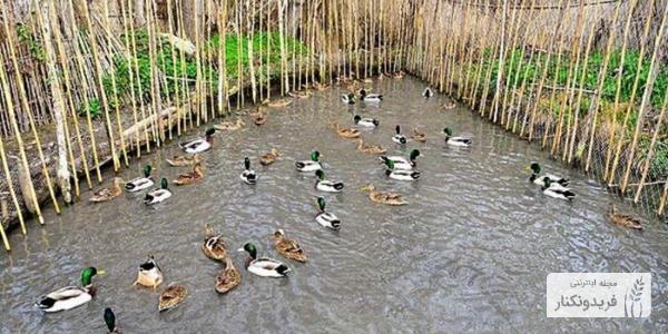 دوما چال، پرندگان مهاجر، اردک، صید پرندگان، روش سنتی صید پرندگان، تالاب های فریدونکنار