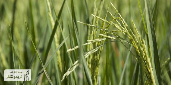 برنج راتون - برنج رتون - برنج دونوج - کشت دوم برنج - برنج طارم رتون - برنج طارم هاشمی فریدونکنار