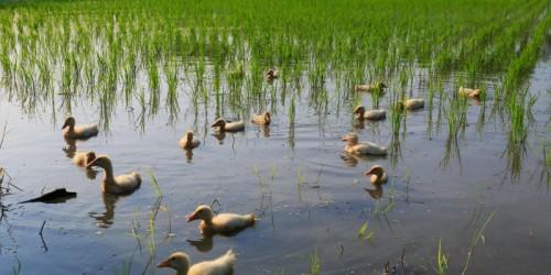 آشنایی با کشاورزی و برنج ارگانیک
