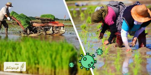 اثرات متقابل کشت مکانیزه برنج و شیوع بیماری کرونا ویروس (COVID-19)