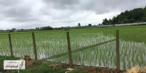 چرا برنج فریدونکنار معروف است؟