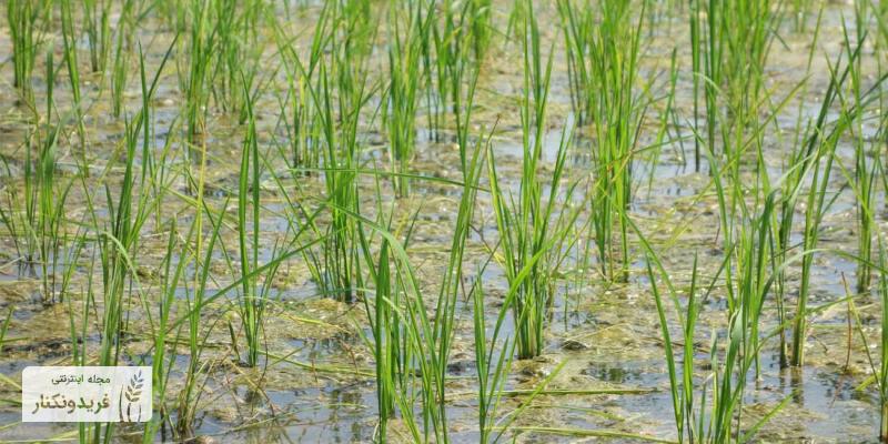 برنج دونوج یا راتون .چیست؟