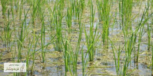 برنج دونوج یا راتون چیست؟