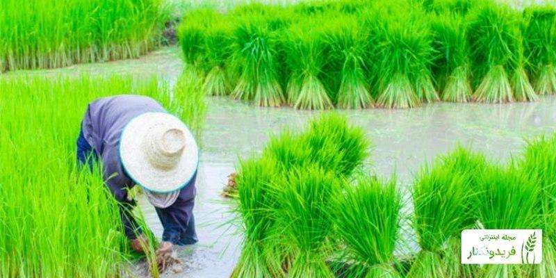 مراحل کاشت برنج
