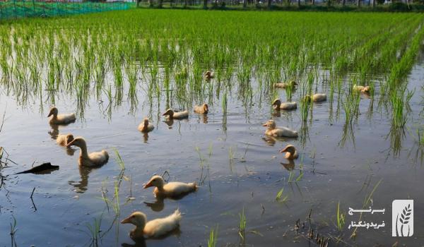 کشت برنج ارگانیک با استفاده از اردک در مزارع برنج فریدونکنار | برنج طارم هاشمی ارگانیک فریدونکنار | برنج طارم هاشمی ارگانیک | برنج ارگانیک