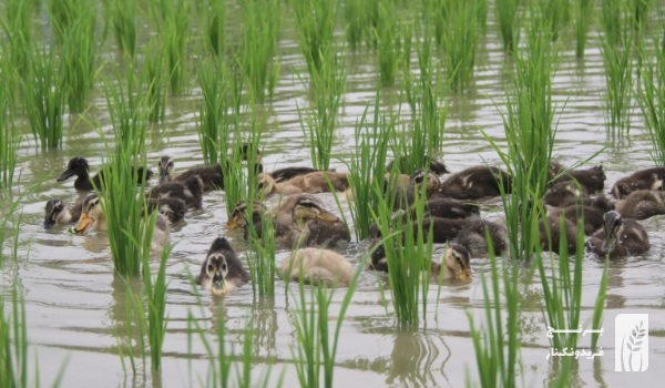 کشت برنج ارگانیک با استفاده از اردک در مزارع برنج فریدونکنار | برنج طارم هاشمی ارگانیک فریدونکنار | برنج فریدونکنار | طارم هاشمی | برنج ایرانی | برنج فریدونکنار